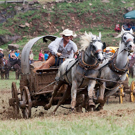 Running for the Buckle by Patricia Rustin - Sports & Fitness Other Sports ( chuckwagon, chuck wagon, horse racing, chuck wagon racing,  )