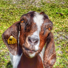 Dare To Stare by Mark Ayers-Stebenne - Animals Other ( farm, staring, goat, friendly, tagged,  )