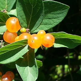 Orange Berries by Don Teachout - Nature Up Close Gardens & Produce ( orange, bright, colorful, sunny, berries )