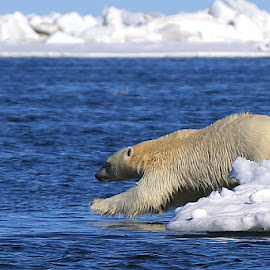 Dive In! by Jack Molan - Animals Lions, Tigers & Big Cats ( bear, warming, ice, swim, white, beauty, polar bear )