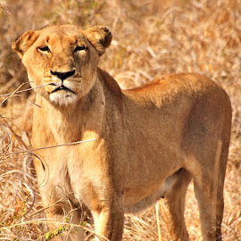 What you looking at? by Belinda Bailey - Animals Lions, Tigers & Big Cats ( #africa, #lioness, #lion, #wildlife, #queen )