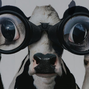 On The Look Out by VAM Photography - Animals Other ( binoculars, cow, animal )