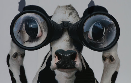 On The Look Out by VAM Photography - Animals Other ( binoculars, cow, animal,  )