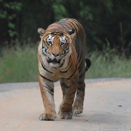 Tiger walks in my direction by Mohammad Aslam AhmadBasha Shaikh - Animals Lions, Tigers & Big Cats