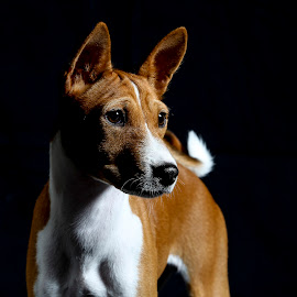 Basenji..  by Kirk Evans - Animals - Dogs Portraits