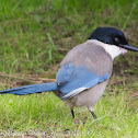 Azure-winged Magpie; Rabilargo