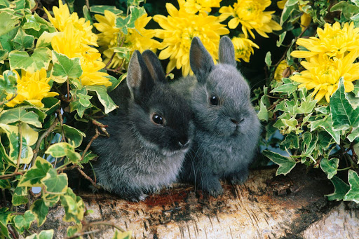 dwarf cute bunny rabbits animals