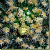 Mammillaria schiedeana fiore 2008 febb stranepiante 2
