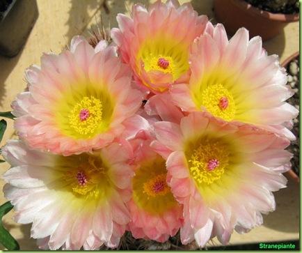 Fiori-cactus-rosa