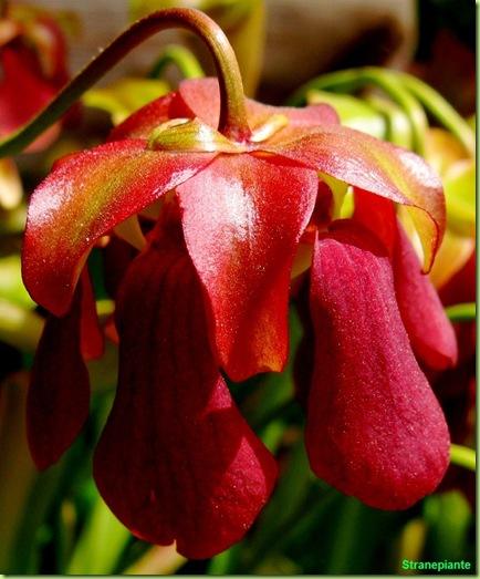 fiore pianta carnivora