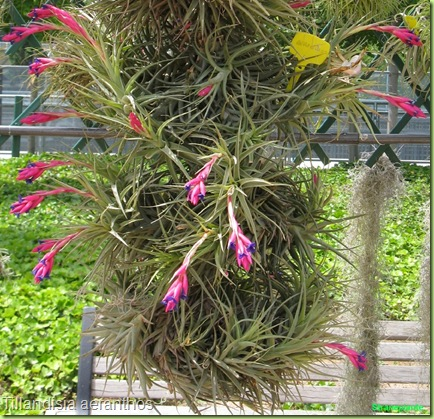 Tillandisia aeranthos fiori