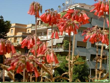 Kalanchoe daigremontiana fioritura