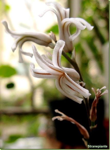 fiore-bianco-Haworthia cymbiformis