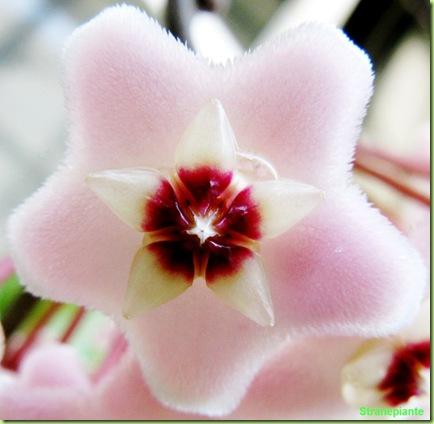hoya fiore