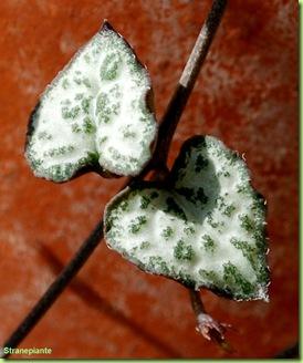 Ceropegia woodii foglie cuore