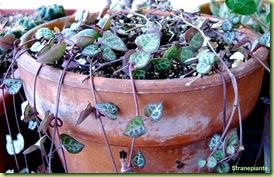 Ceropegia_woodii_fiori_foglie