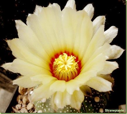 Astrophytum asterias fiore