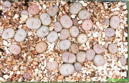 lithops da seme 23-06-08
