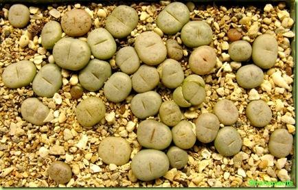 lithops da seme 29-06-08