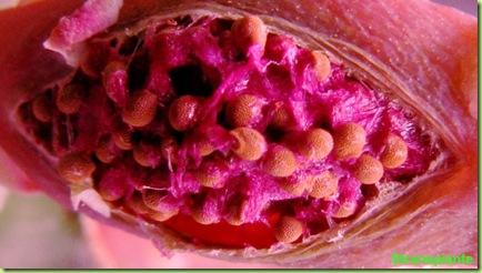 frutto gymnocalycium