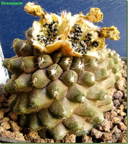 Copiapoa hypogaea var. barquitensis frutti semi