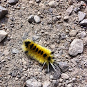 Spotted Tussock moth (caterpillar)