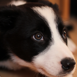 Ollie by Elaine Carty - Animals - Dogs Puppies ( sheepdog, border collie, furry, pet, pup, adorable, puppy, dog, cute, animal,  )