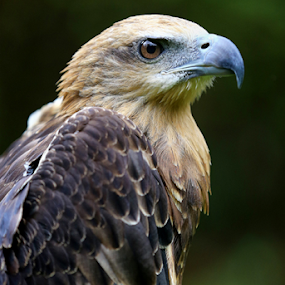 Elang by Esther Pupung - Animals Birds (  )