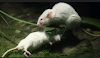 Tikus Putih yg menolong Temannya dari mangsa ular (Gambar 2)