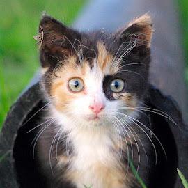 litle kitty by Tadas Laurinaitis - Animals - Cats Kittens ( grass, ground, kitty, small )