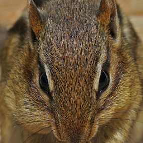 Cutie Pie close up by Gary Amendola - Animals Other Mammals ( peanut, chipmunk )