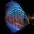 Discus Fish icon