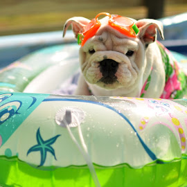 Bailey by Kim Brown - Animals - Dogs Puppies ( ssenglishbulldogs,  )