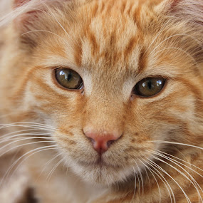 Ginger sweetness by Kirsten Gamby - Animals - Cats Portraits ( cat face, cat called nigel, happy cat, ginger cat, cat potrait, sweet cat, , #GARYFONGPETS, #SHOWUSYOURPETS )