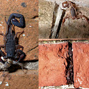 Slenderbrown bark scorpion