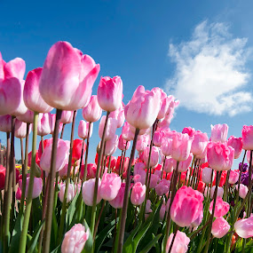 Field of Tulips by Kelvin Watkins - Flowers Flower Gardens ( nature, blue, bright, cloud, pink, beauty tulips )