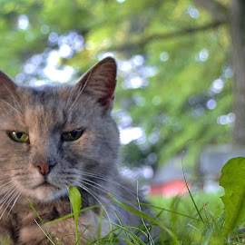 Hi there...have a grumpy day by Tim Hall - Animals - Cats Portraits ( cat, summer day, grass, grumpy, close up, portrait )