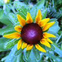 Black-eyed Susan (Wildflower)