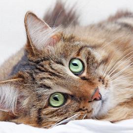 Green eyes by Mia Ikonen - Animals - Cats Portraits ( kurilian bobtail, curious, gorgeous, focused, finland,  )