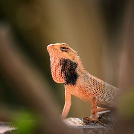 Oriental Garden Lizard  by Swarnendu Chatterjee - Animals Amphibians ( india, oriental garden lizard, nikon, animal )