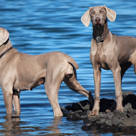 Waters Edge by Terry M - Animals - Dogs Portraits