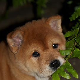 Chow chow Puppy by Nam Faces - Animals - Dogs Puppies ( baby, young, animal )