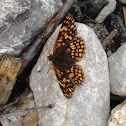 Northern Checkerspot