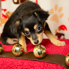 Jingle Pup by Matthew Marcil - Animals - Dogs Puppies ( pet, christmas, puppy, dog, portrait )