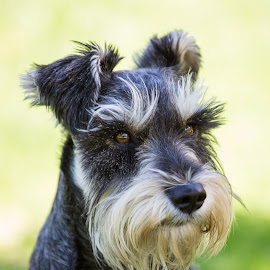 Pascual by Daniel Arjona - Animals - Dogs Portraits ( pet, mascota, schnauzer standard, dog, perro )