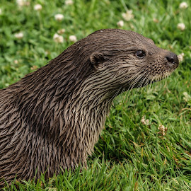 Otter by Garry Chisholm - Animals Other Mammals ( garry chisholm, nature, otter, wildlife, mammal )