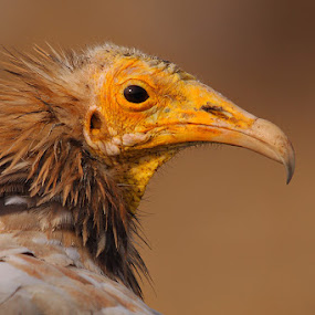Mr. OLD .. The Egyptian Vulture (Neophron percnopterus) by Sharad Agrawal - Animals Birds ( scavenger, nature, style, rajasthan, udaipur, wildlife, india, brown, hair, eye )
