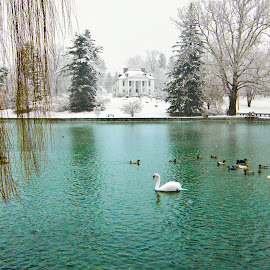 Swan and the Willow by Crystal Hunt - Landscapes Travel ( boiling springs, pennsylvania )
