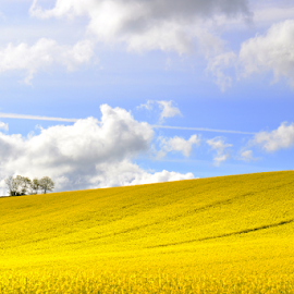 Golden fields by Stephen Tolley - Landscapes Prairies, Meadows & Fields ( clouds, bright, yellow, bio fuel, field, sky, bio, blue, sunny, fuel, sunshine, rape seed, golden, rape, flower )