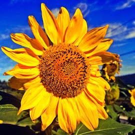 sunflower by Adriana Kastelan - Instagram & Mobile iPhone